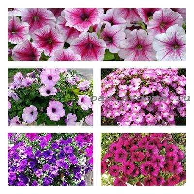 Петуния - фото цветов с названиями