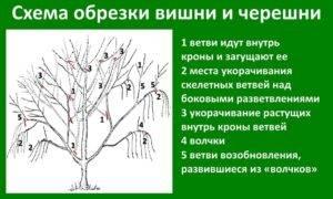 Обрезка вишни: основные правила и особенности обработки разных видов