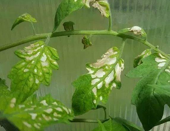 Почему белеют листья на помидорах в теплице, что делать с белыми пятнами