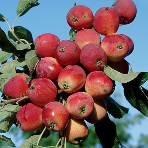Яблоня «медуница»: описание, фото, отзывы, посадка