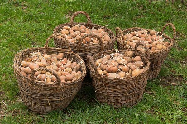 Правильная посадка и выращивание картошки по методу кизимы | топ сад