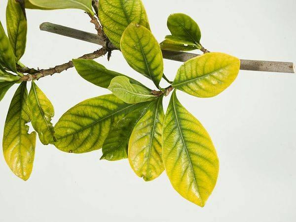 10 причин пожелтения листьев у растений