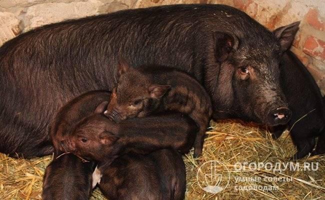 Порода свиней кармалы: описание, характеристики
