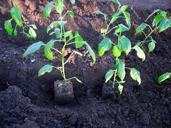 Почему не растут перцы в теплице после высадки: методы лечения
