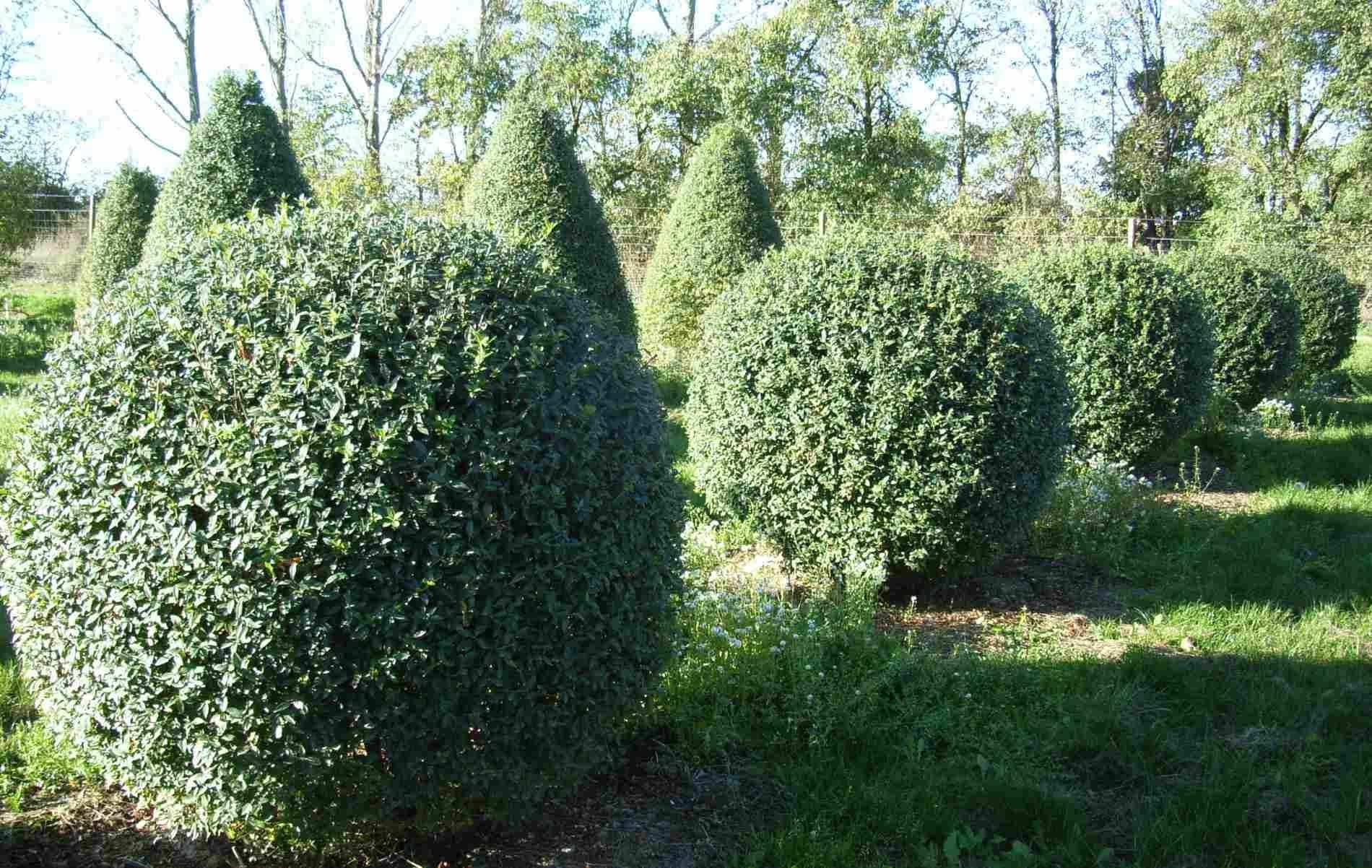 Кустарник бирючина (52 фото): виды и сорта, посадка и уход в открытом грунте, живая изгородь и обрезка