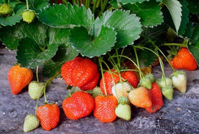 Подкормка клубники – весенняя подкормка клубники для большого урожая