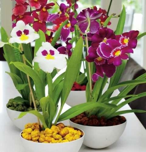 Орхидея мильтония: уход в домашних условиях, виды, пересадка