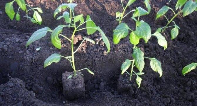 Как сажать перец – когда проводить посадку, подходящая земля и соседи, необходимое расстояние между кустами