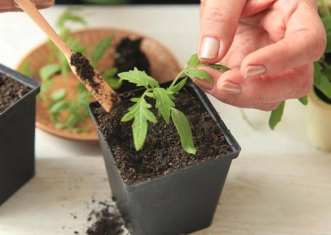 Что делать, когда рассады томатов удлиняется и бледнеет?