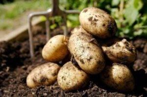 Сорт картофеля метеор: характеристика, описание и фото, выращивание и уход, болезни и вредители, сбор урожая