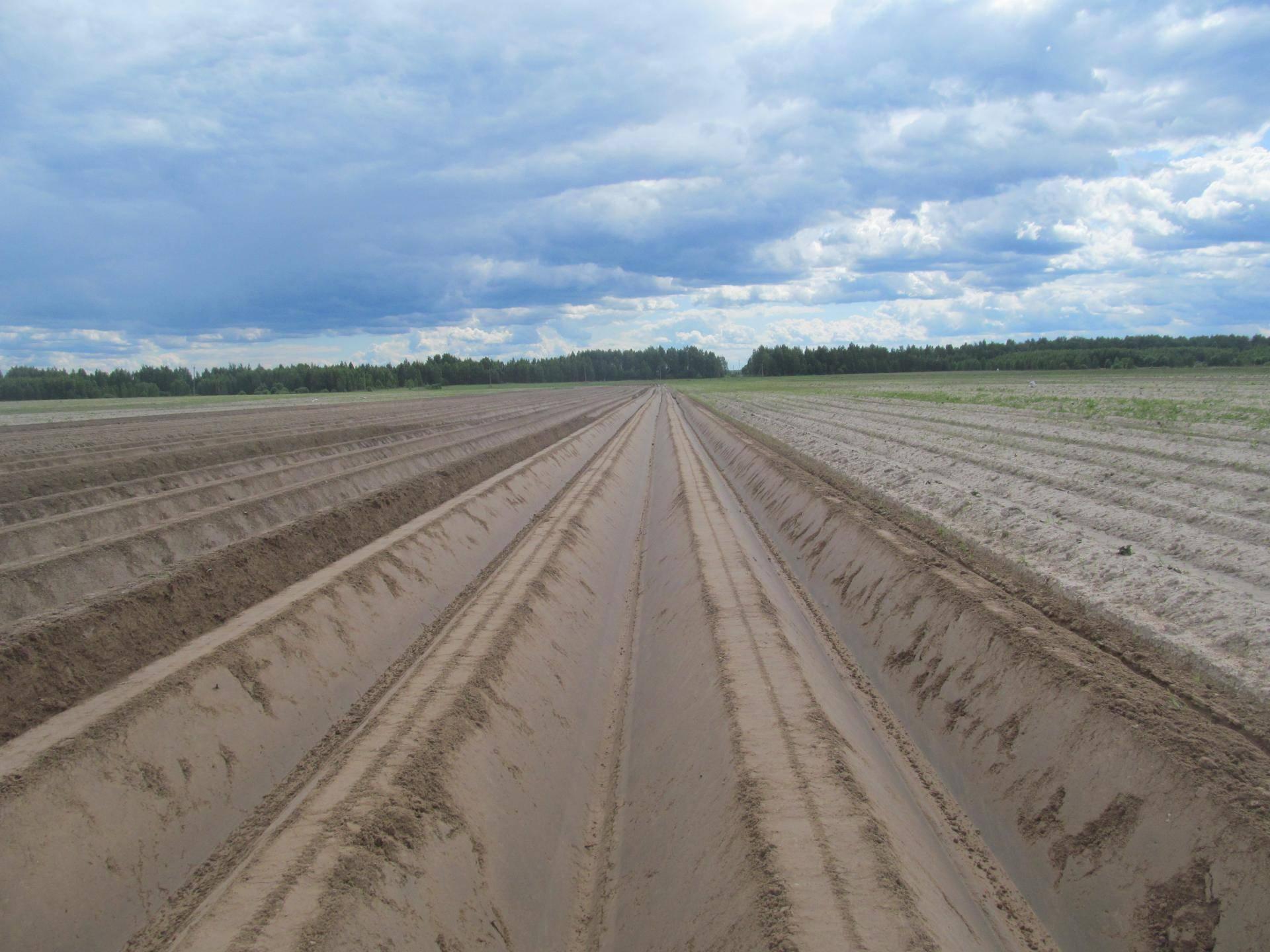 Выращивание картофеля по голландской технологии: сорта и этапы