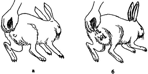 Как определить пол кролика: основные отличия самки и самца
