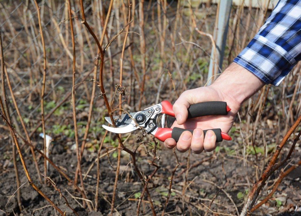 Обрезка ремонтантной малины осенью: схема и правила для начинающих, выращивание и уход