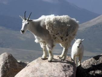 Необходимость обрезки копыт у домашних коз