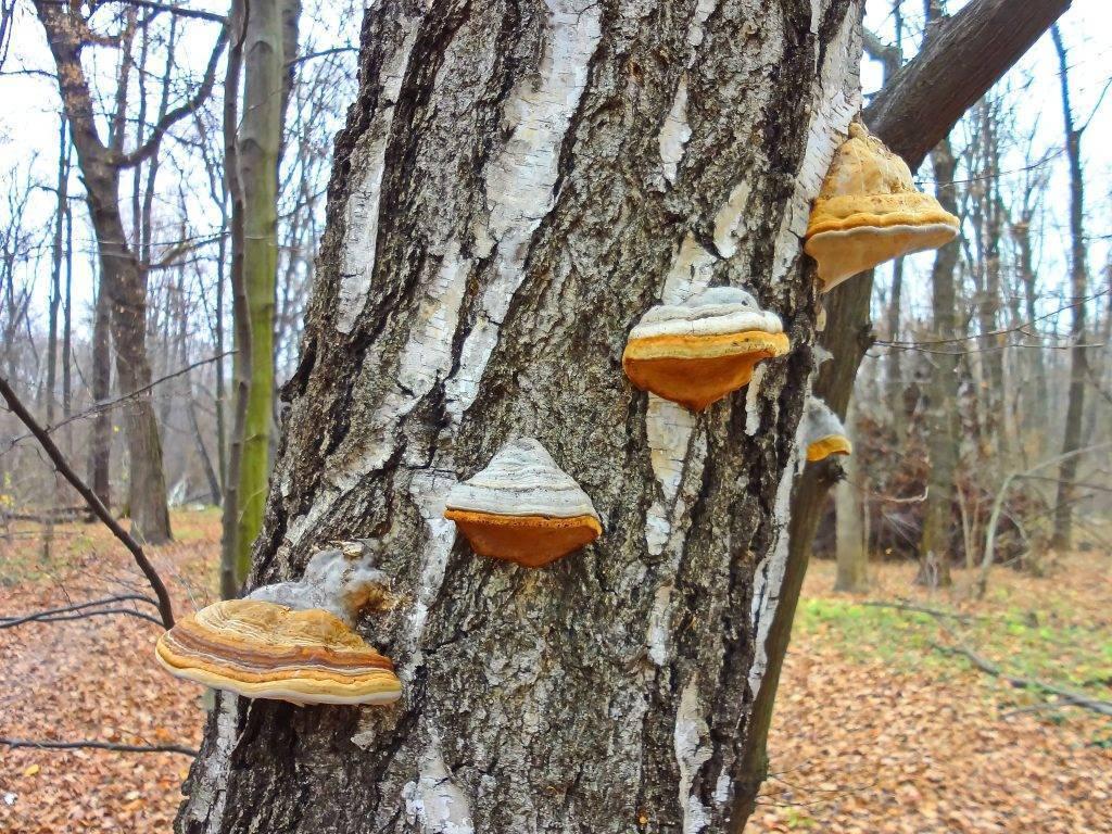 Съедобные и несъедобные древесные грибы: их описание и фото