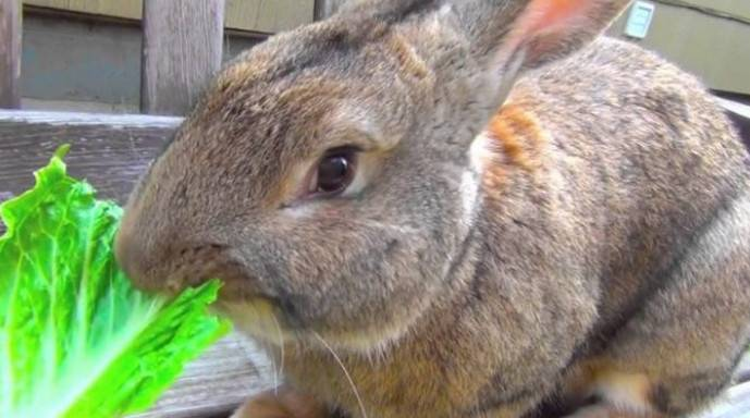 Можно ли давать кроликам капусту и как ею кормить их