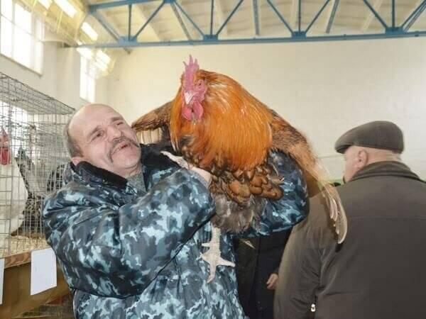 Описание мясо-яичных пород кур: юрловская голосистая