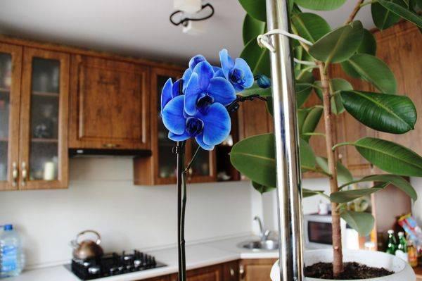 Разбираемся, существует ли синий фаленопсис? или это краска