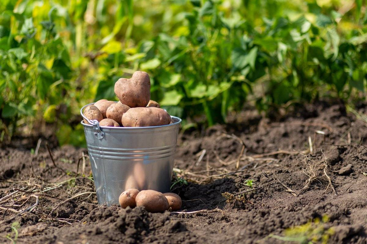 Почему не цветет картофель: опасность и причины