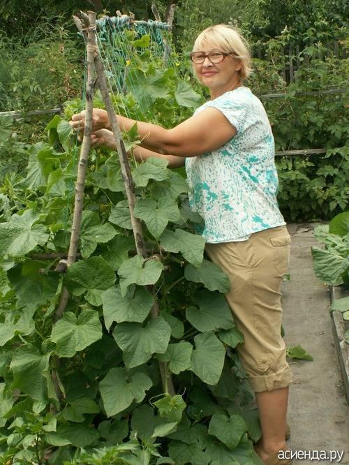 Огурцы без подвязки в открытом грунте / шпалеры для растений в огороде