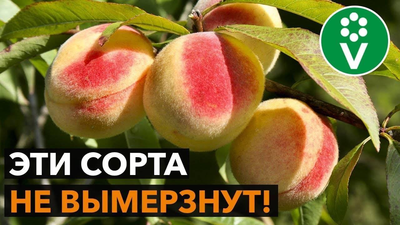 Как вырастить персики в подмосковье   садоводство и огородничество