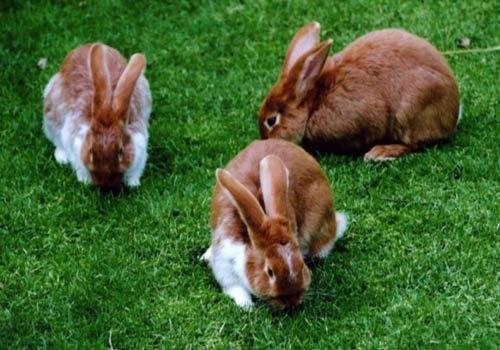 Лопухи в рационе кроликов