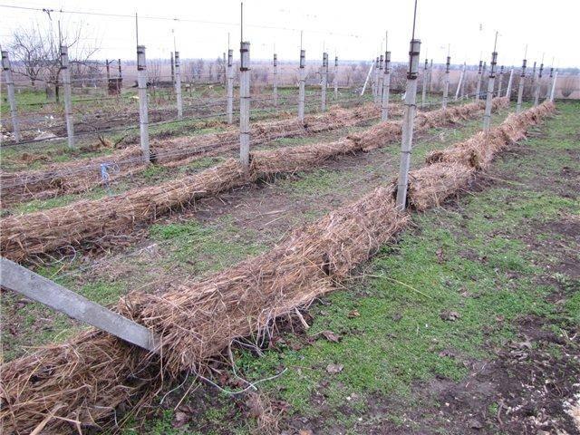 Сухое укрытие винограда на зиму