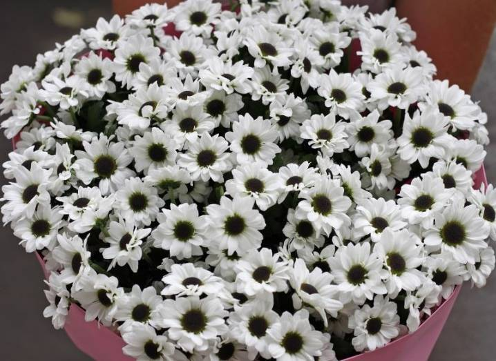 Как ухаживать за цветами многолетних хризантем на урале и в подмосковье, разновидности бордюрных сортов с названиями и фото, обрезка и укрытие осенью