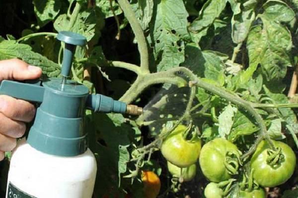 Чем удобрять помидоры своими руками в теплице