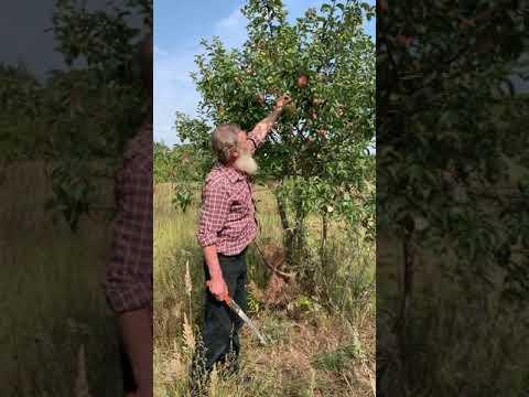 Описание сорта яблони победа: фото яблок, важные характеристики, урожайность с дерева