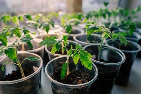 Как вырастить помидоры черри в домашних условиях, на подоконнике зимой, а также на балконе? преимущества сорта и уход русский фермер