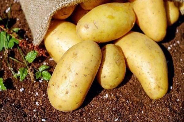 Норма посадки картофеля на 1 га (гектар) в кг и на сотку в тоннах: сколько нужно картошки для высева и от чего зависит расход?