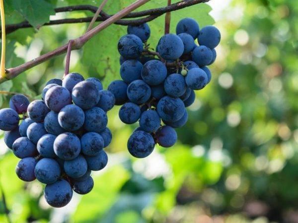 Виноград северный сладкий: краткое описание сорта, особенности выращивания, урожайность