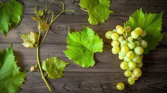 Выращивание винограда в подмосковье и средней полосе россии: посадка и уход в открытом грунте, теплице