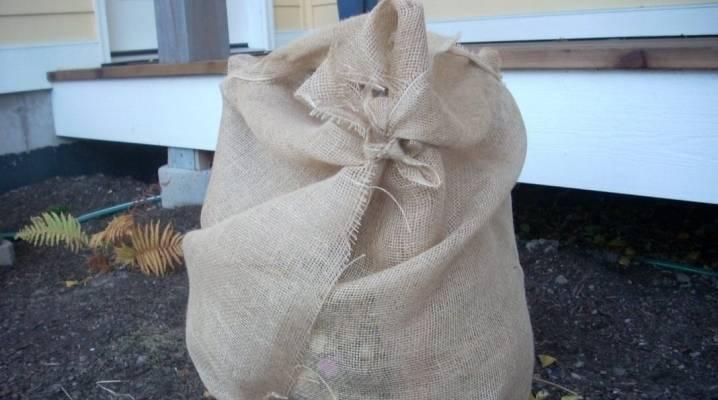 Гортензия: подготовка к зиме, обрезка и укрытие