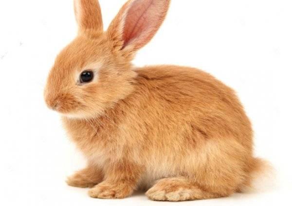 Описание рыжих кроликов
