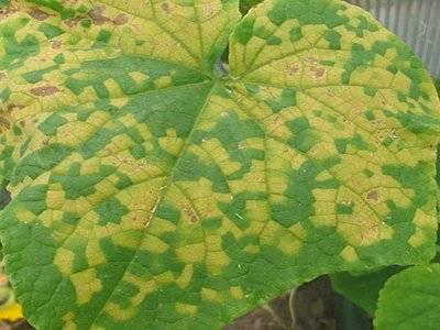 Желтеют листья у огурцов в теплице что делать чем обработать
