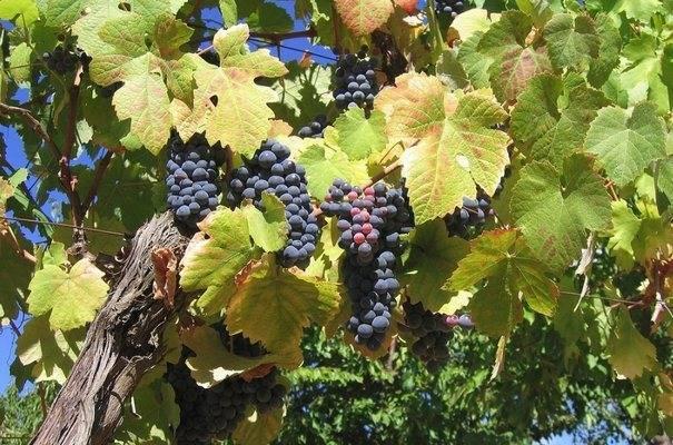 Виноград маршал фош — описание сорта, фото, отзывы, видео.
