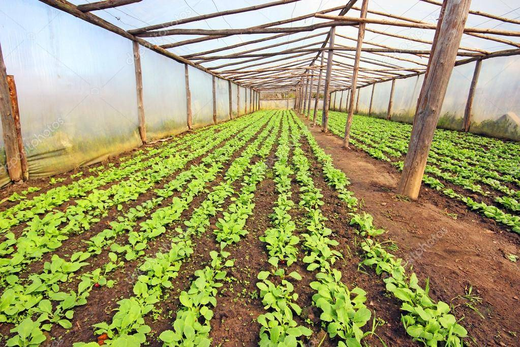 Технология выращивания редиса в теплице на продажу и для себя