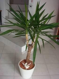 Цветок юкка - уход в домашних условиях, фото сортов