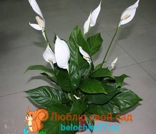 Цветок женское счастье (спатифиллум): уход в домашних условиях
