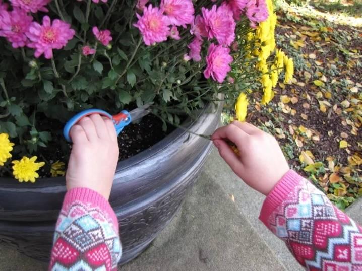 Хризантемы зимой в горшках — как сохранить и обрезать