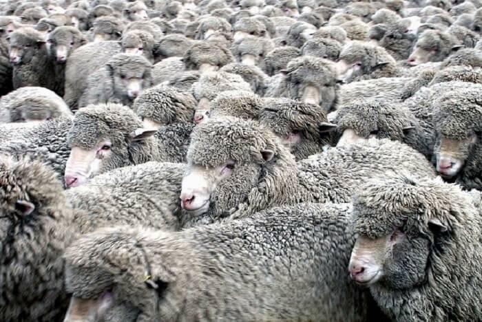 Порода овец меринос — описание, характеристика, условия содержания.   cельхозпортал