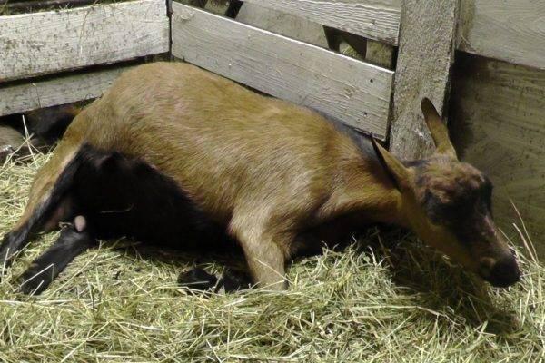 Почему у козы после окота твердое вымя?
