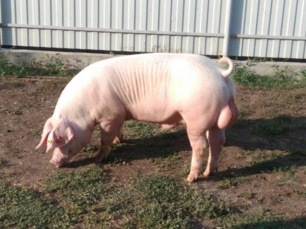 Особенности размножения в свиноводстве