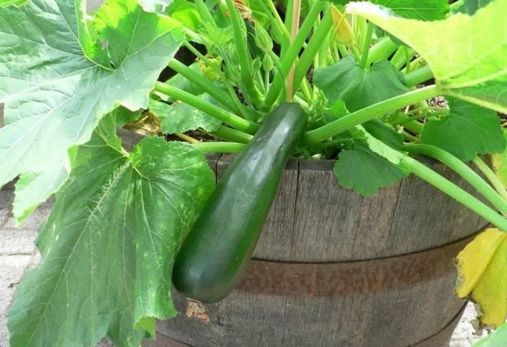 Кабачки: выращивание из семян, посадка и уход в открытом грунте