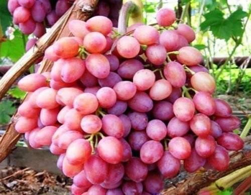 Виноград «дубовский розовый»: описание сорта, фото и отзывы