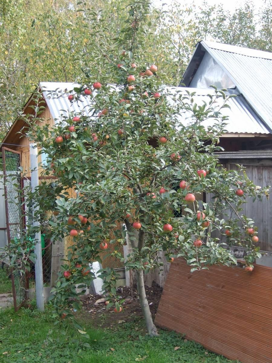 Яблоня медуница фото описание и отзывы садоводов. летний и зимний сорт