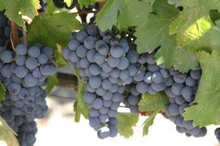 ᐉ нью-йорк мускат - виноград - roza-zanoza.ru