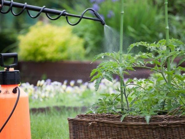 Подкормка помидоров в открытом грунте: что необходимо учесть?